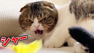 ぽこ太郎が怒った!?親子猫のテンションが上がりすぎた結果、まさかの結果に…