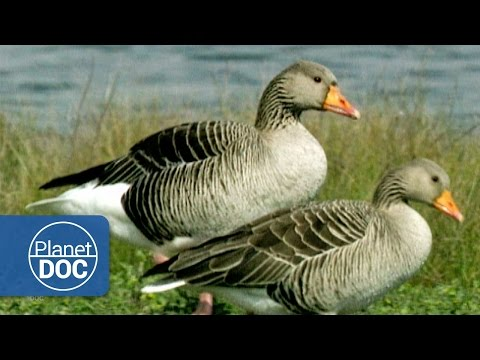 Migratory Birds | Nature - Planet Doc Full Documentaries