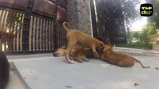 A big family of Indian stray dogs インド野良犬家族 https://www.yout...