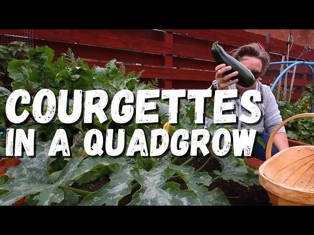 An update on the courgettes in the quadgrow and showing you powdery mildew