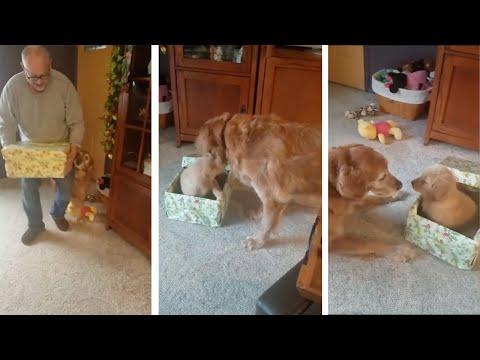 Ternura: a un viejo labrador le regalaron un cachorro para Navidad