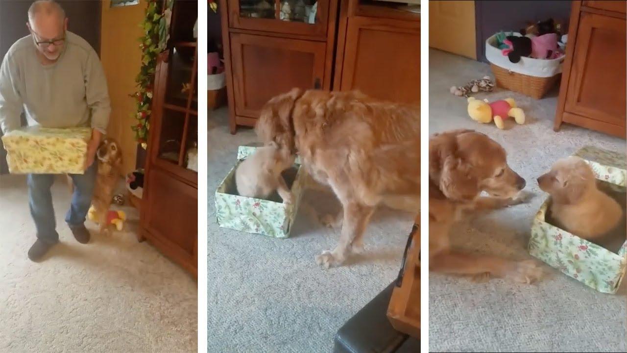 Реакцијата на кучето што доби мало кученце на подарок за Нова година