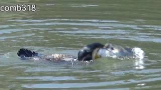 【衝撃】鳥が魚を丸呑みしようとしていて、そんな大きいの入んないって思っていたら・・何と無理やり奥までウググッ・・の一部始終