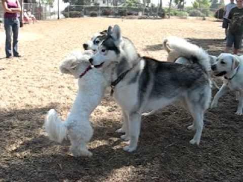 Little Dog Challenges Big Siberian Husky - YouTube