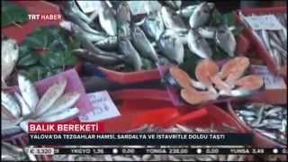 Yalova'da balık bereketi haberimiz TRT