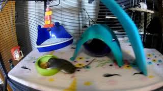Dọn chuồng cho sấp nhỏ!!! RAT