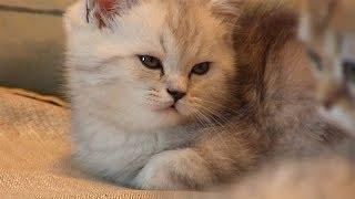 Живой Уголок. Шотландская вислоухая кошка