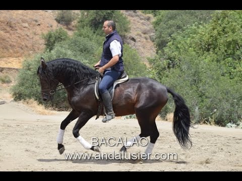 BACALAO Andalusian PRE stallion sales horse in Spain PRE Andalusier Hengst
