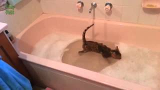 Коты купаются, кот купается в ванной, кот любит воду.