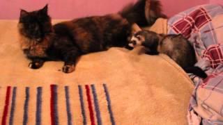 Кошка мейн кун и хорек 😻 Видео про животных Приколы с котами Хорьки Cat Main coon Ferret