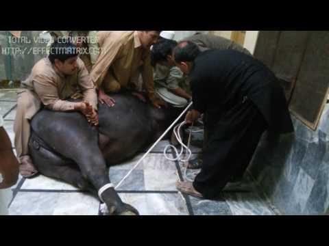 Qurbani 2016 Dangerous Buffalo Asia get Peshawar