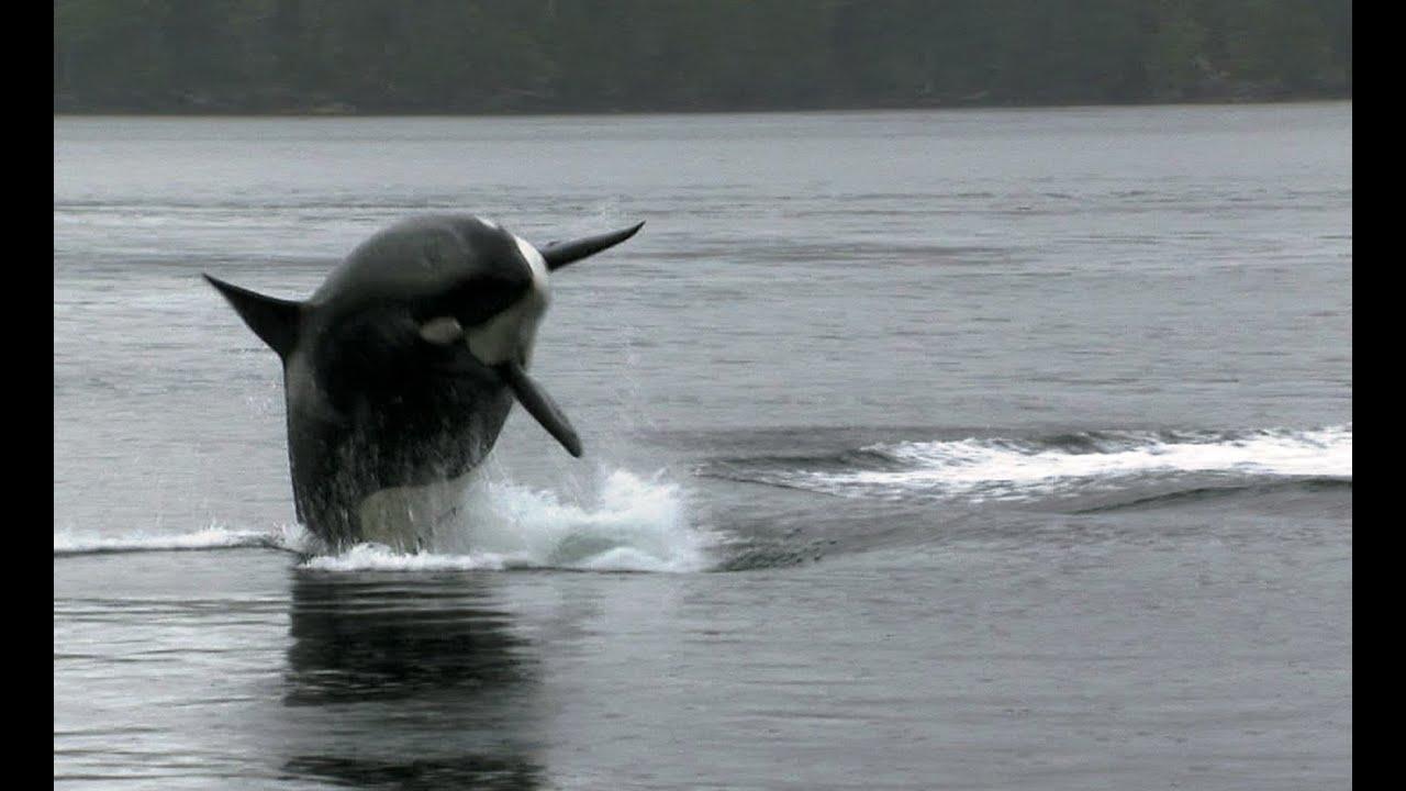 Download Sea Lion Vs 10 Killer Whales   Deadly 60   BBC Earth