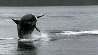 Sea Lion Vs 10 Killer Whales | Deadly 60 | BBC Earth