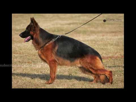 How to import longhair german shepherds dogs in pak complete detail video european countries prices