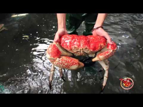Tasmanian Giant Crab / Crystal Crab