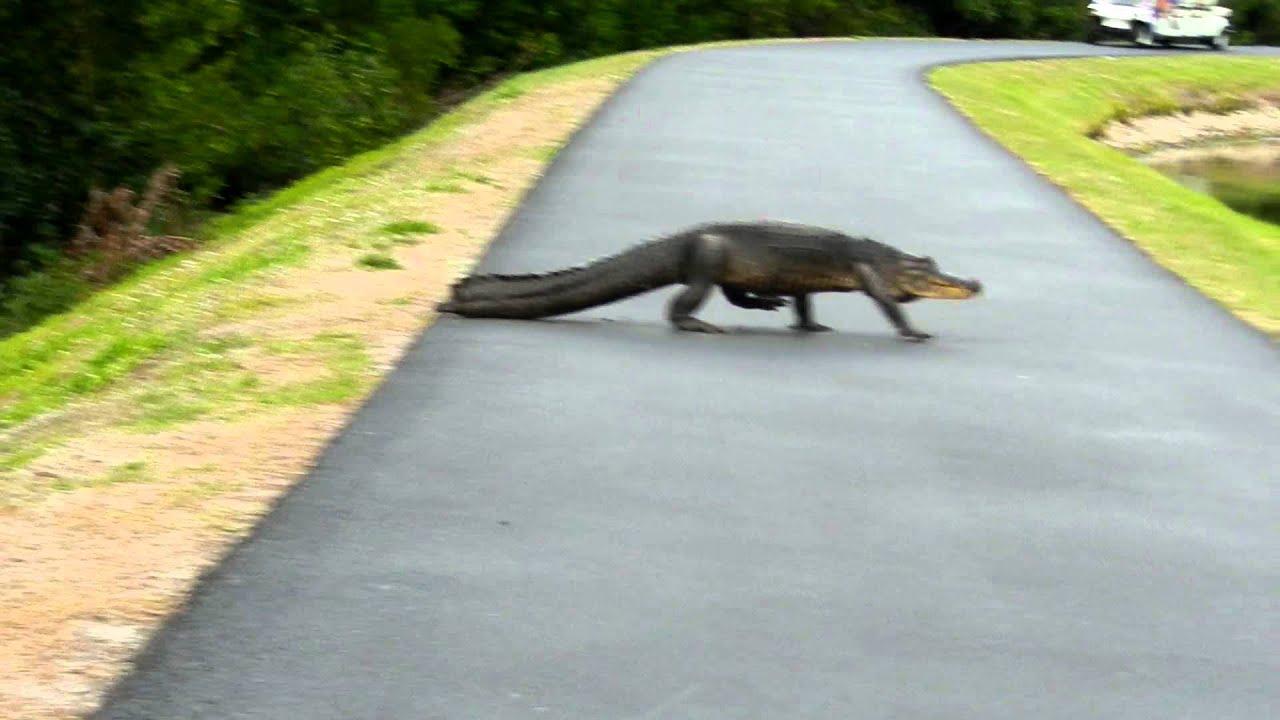 hight resolution of alligator in naples fl