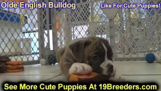 Olde English Bulldog, Puppies, For, Sale, In, Kearney, Nebraska, Ne, Fremont, Hastings