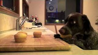 Sierra The Cupcake Eating German Shorthair Pointer