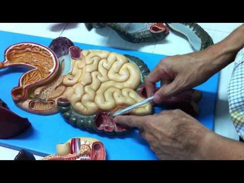 Giải phẫu học: Ống tiêu hóa