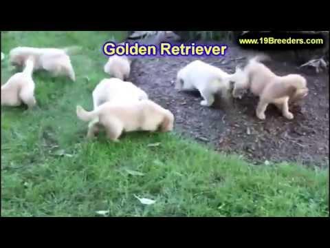 Golden Retriever, Puppies, Dogs, For Sale, In Birmingham, Alabama, AL, 19Breeders, Huntsville