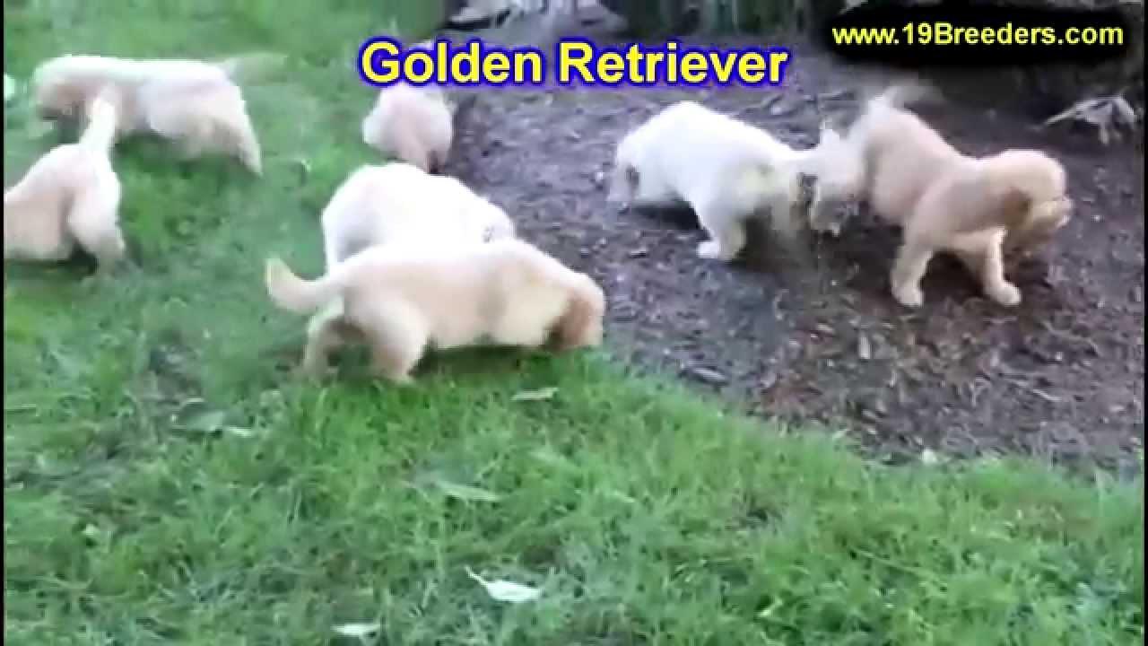 Golden Retriever, Puppies, Dogs, For Sale, In Birmingham ...