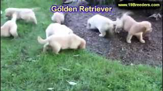 Golden Retriever, Puppies, For, Sale, In, Birmingham, Alabama, Al, Montgomery, Tuscaloosa, Jefferson