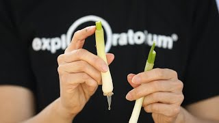 Veggie Scraps: No Seeds, No Problem | Hungry for Science