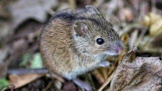 Полевая мышь, пойманная в огороде. Видео снимал для жены!