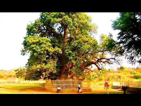 Amazing !!  Baobab Tree in Hyderabad, India | HD Video