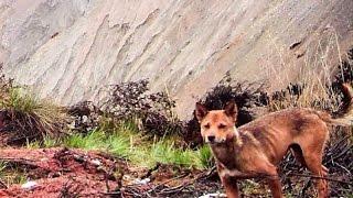 ニューギニア島で絶滅した犬が再発見された! 絶滅と考えられていた犬、...