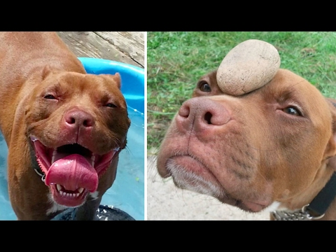 Rescue Pittie Strikes Up Odd Romance With Pet Rock