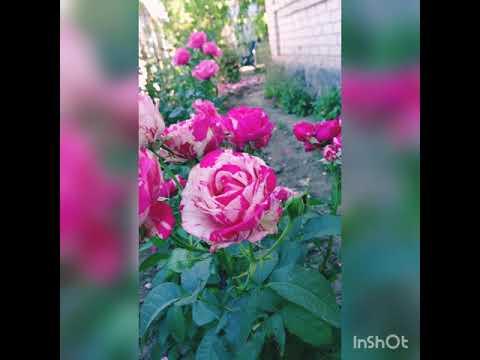 Обзор сорта розы Сатин