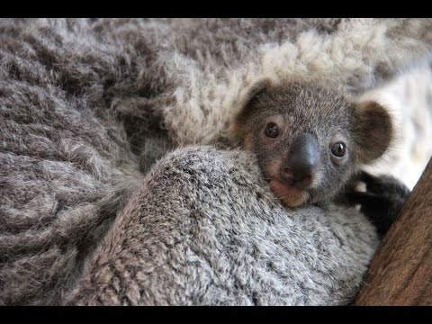 First Baby Koala Of The Season Has Been Sighted!