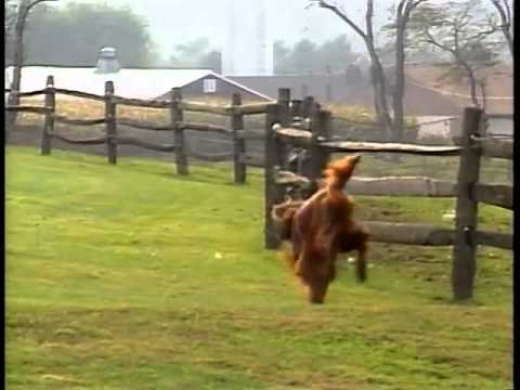 Irish Setter - AKC Dog Breed Series