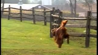 Irish Setter  AKC Dog Breed Series