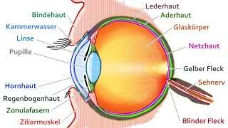 Aufbau des Auges