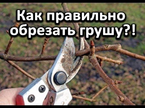 Как обрезать грушу весной видео для начинающих
