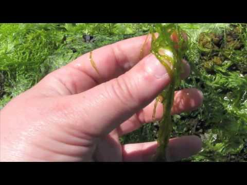 Green Seaweed: Ulva