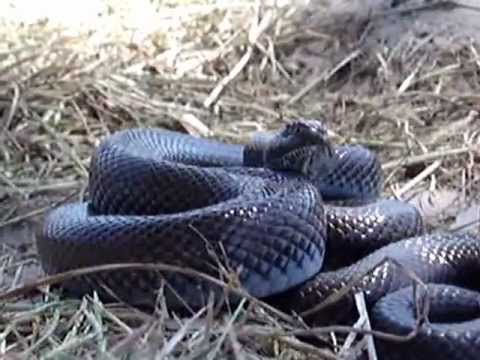 Mole Snake Frightened after being Attacked by Crows