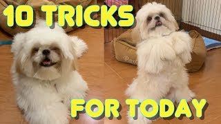 Shih tzu Puppy Performs 10 Tricks as He Turns 10 Months Old ( Cute & Funny Dog Video)