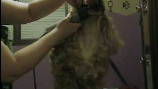 Cocker Spaniel Grooming Part 1