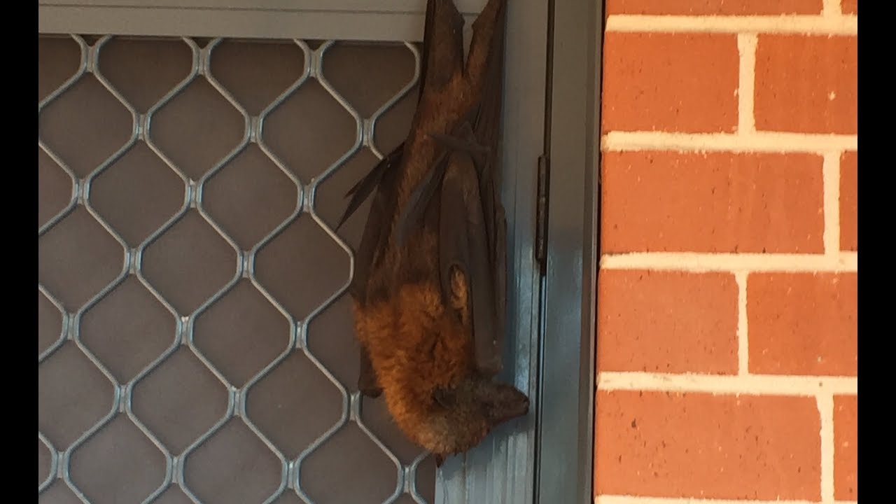 Rescue Of A Flying Fox Hanging Off A Screen Door: This Is George