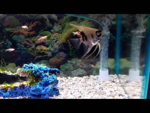 Angelfish, Tiger Barb, Zebra Danio Combo In A 15 Gallon Tank
