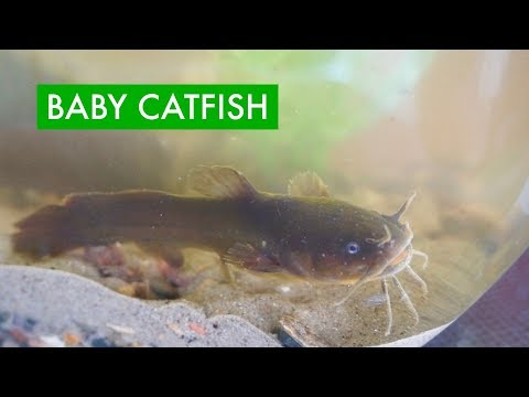 I Caught A BABY CATFISH To Keep As A Pet