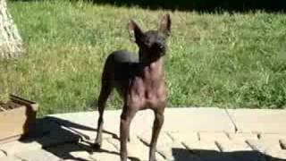 Xoloitzcuintle Dog Or Mexican Hairless