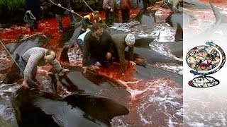 Beauty and Blood In The Faroes