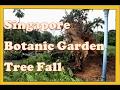 Singapore News A huge fallen Tembusu tree in the Palm Valley of Botanic Gardens 1 dead 4 injured