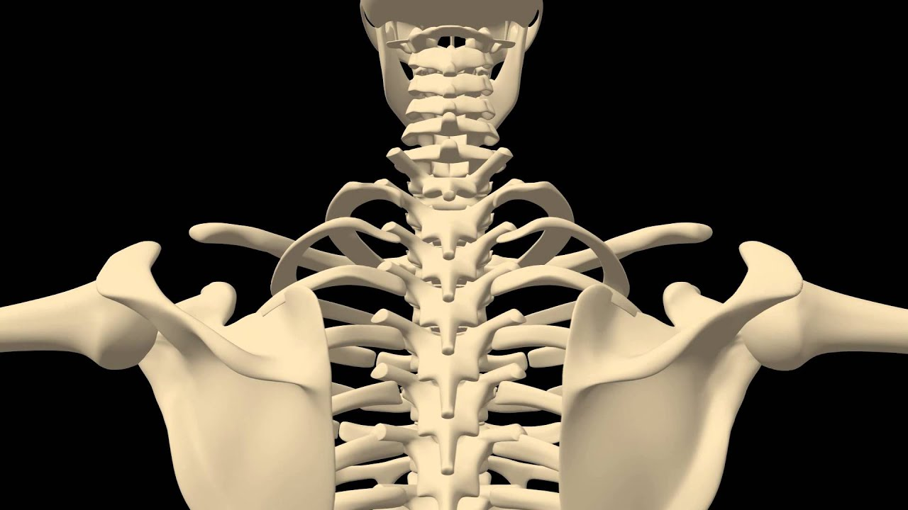 Royalty Free Medical Human Skeleton Hd Footage Chest Close Up