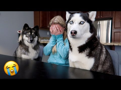 Crying Prank On My Huskies!