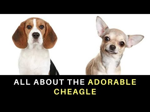 All About the Adorable Cheagle (Beagle Chihuahua Mix)